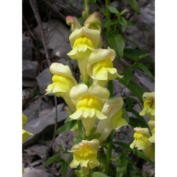 Lixirs floraux deva gueule de loup 10 ml l 39 herberie - Fleur gueule de loup ...