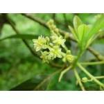 Fleurs de Californie AVOCADO  30 ml