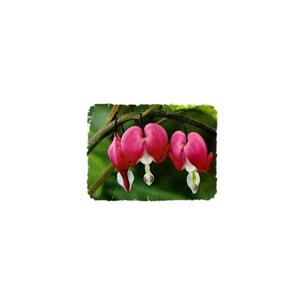 fleurs de californie bleeding heart 7 5ml l 39 herberie magasin bio libramont. Black Bedroom Furniture Sets. Home Design Ideas