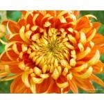 Fleurs de Californie chrysanthemum  7,5ml
