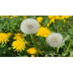 Fleurs de Californie DANDELION  7,5ml
