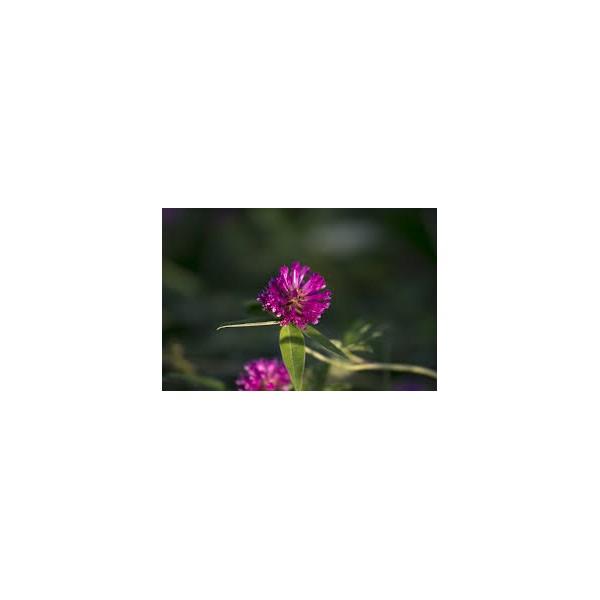 Trefle Rouge Fleur 100gr