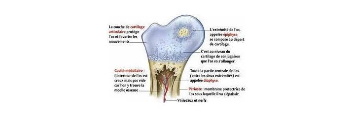 Os - Fixation du calcium