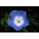Fleurs de Californie BABY BLUE EYES  7,5ml