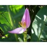 Fleurs de Californie BANANA  7,5ml