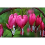 Fleurs de Californie BLEEDING HEART  7,5ml