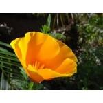 Fleurs de Californie CALIFORNIA POPPY  7,5ml