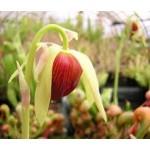 Fleurs de Californie california pitcher  7,5ml