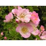 Fleurs de Californie CALIFORNIE WILD ROSE  7,5ml