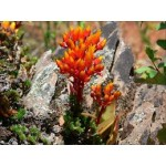 Fleurs de Californie CANYON DUDLEYA  7,5ml