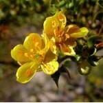 Fleurs de Californie CHAPPARAL  7,5ml