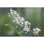 Fleurs de Californie DEERBRUSH  7,5ml