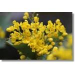 Fleurs de Californie Oregon Grape  7,5ml