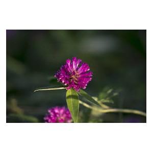 https://www.lherberie.com/2393-thickbox/trefle-rouge-fleur-100gr.jpg