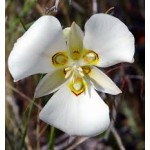Fleurs de Californie MARIPOSA LILY  7,5ml