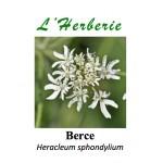 Berce Heracleum sphondylium 100GR