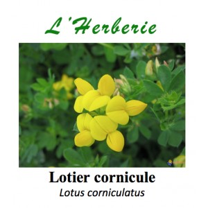 https://www.lherberie.com/3395-thickbox/lotier-cornicule-coupe-100-gr-lotus-corniculatus.jpg