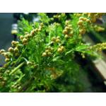 Armoise annuelle Graines d' Artemisia annua