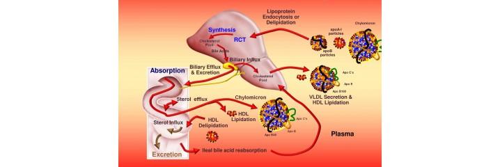 Circulation - Cholestérol